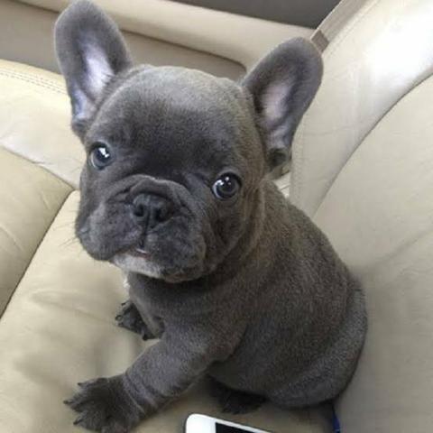 Bebês de bulldog Blue pied Chama no whats faça reserva