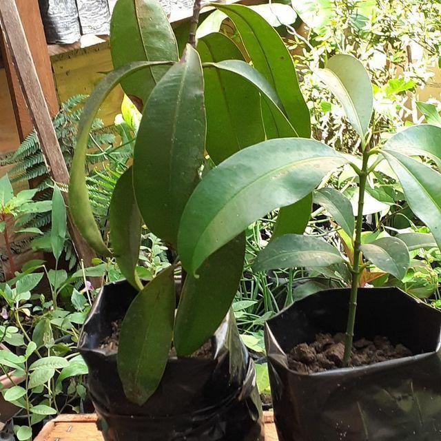 Plantas frutíferas  - Foto 4