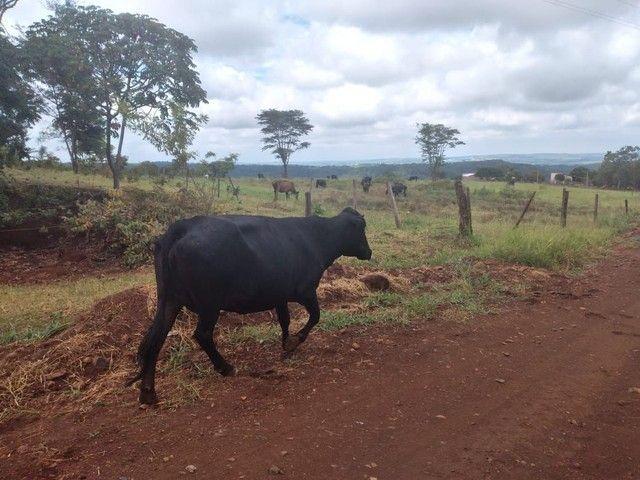 Vendo vacas - Foto 2