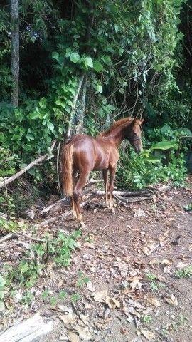 Cavalo andador - Foto 3