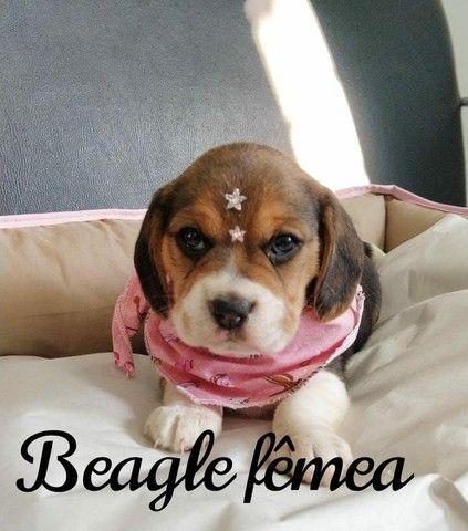 Beagle sua companhia amável