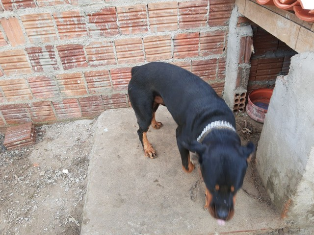 Rottweiler 1 ano puro , cabeça de touro (87)9814579meiaoito - Foto 4