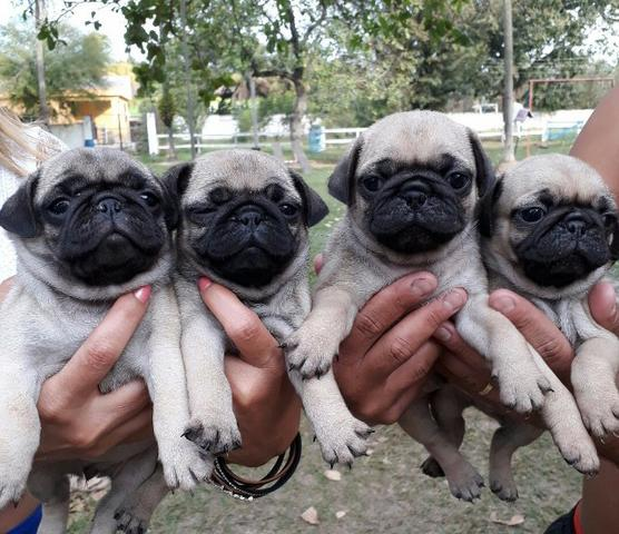Pug femeas pedigree recibo garantia de saude