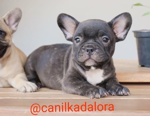 Filhotes de Bulldog frances com pedigree - Foto 3