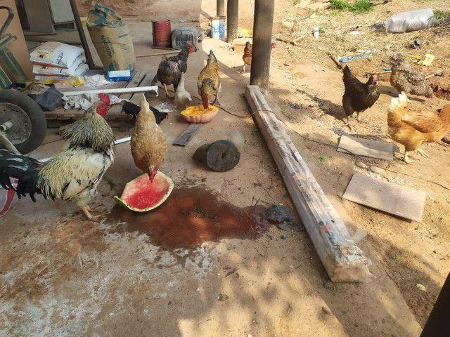 Galos e galinhas caipira - Foto 5