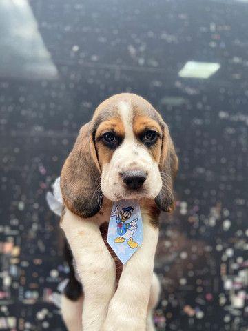 Beagle em loja visite nos - Foto 4