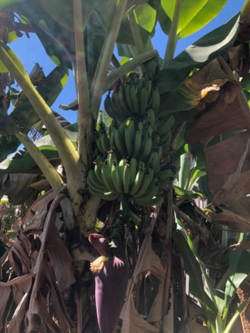 Muda de banana nanica  - Foto 3