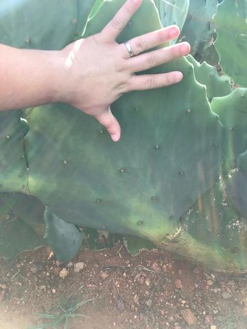 Palma Forrageira Orelha de Elefante Mexicana (resistente à cochonilha do carmim) - Foto 4