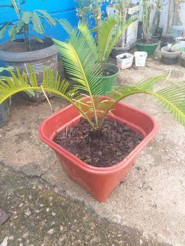 Palmeira sika