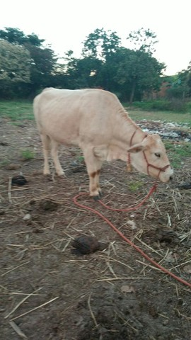 Vende uma vaca