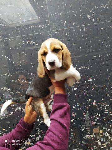 Beagle em loja visite nos