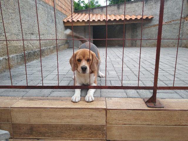 Cachorro beagle tricolor - Foto 5