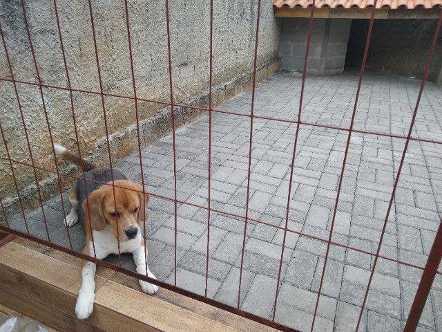 Cachorro beagle tricolor - Foto 6