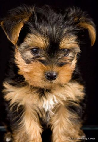 Yorkshire Terrier (micro com 4 meses)