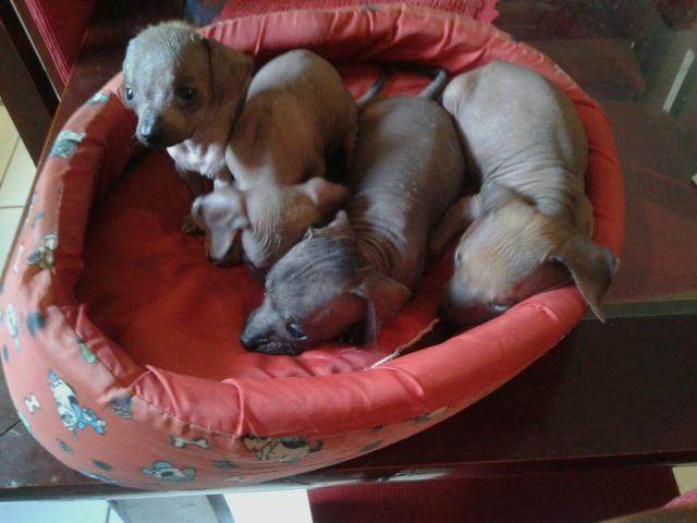 Cachorro sem pelo raríssimo 300 macho 400 a fêmea 45 dias vacinado zap 992894193