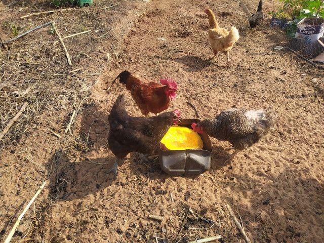 Galos e galinhas caipira - Foto 2