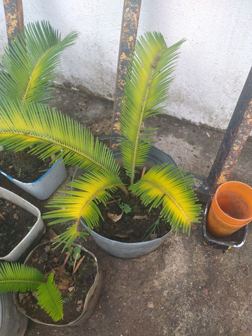 Palmeira sika  - Foto 2