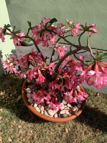Planta rosa do deserto  - Foto 2