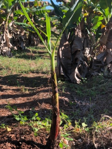 Muda de banana nanica  - Foto 4