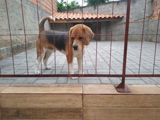 Cachorro beagle tricolor - Foto 2