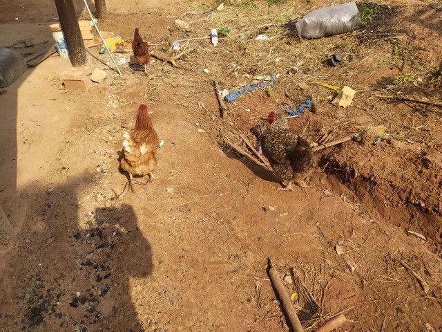 Galos e galinhas caipira - Foto 6