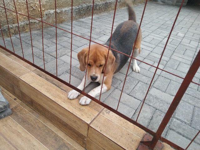 Cachorro beagle tricolor - Foto 4