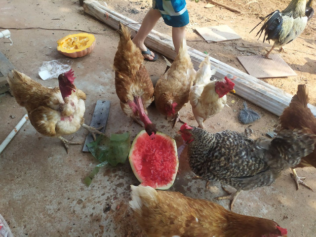 Galos e galinhas caipira