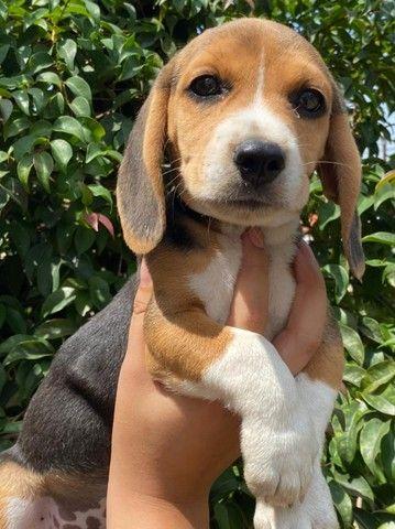 beagle- filhotes lindos!!!