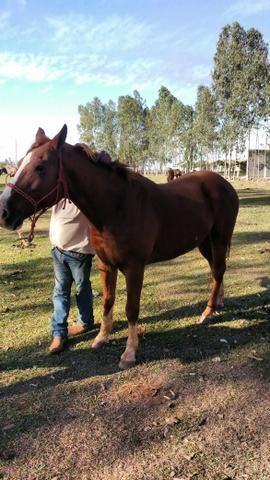 Vendo Cavalo. Ou troco por mula. - Foto 4
