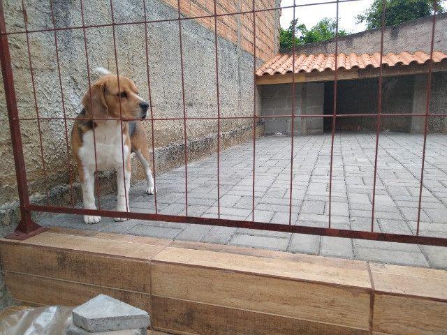 Cachorro beagle tricolor - Foto 3