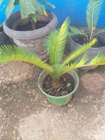 Palmeira sika  - Foto 4