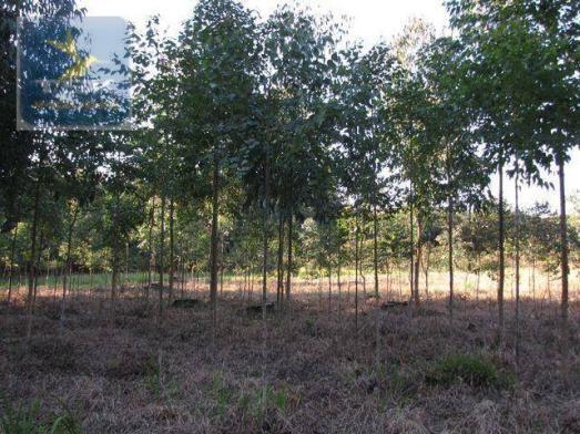 Ch0153 - contenda chácara 59.000 m² plana, rica em águas, parte com eucaliptos - Foto 5