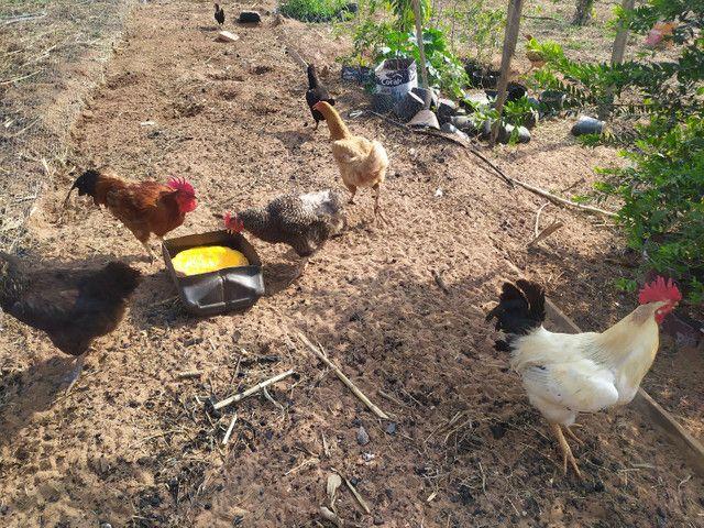 Galos e galinhas caipira - Foto 3