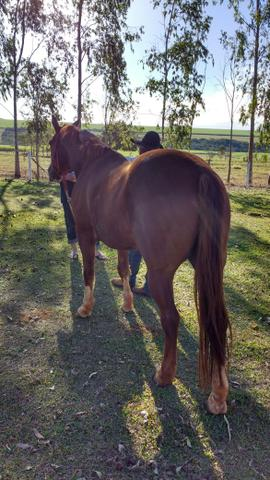 Vendo Cavalo. Ou troco por mula. - Foto 2