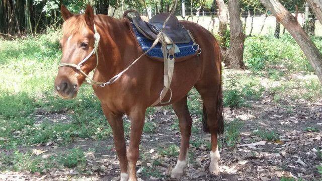 Cavalo Criolo - Foto 5