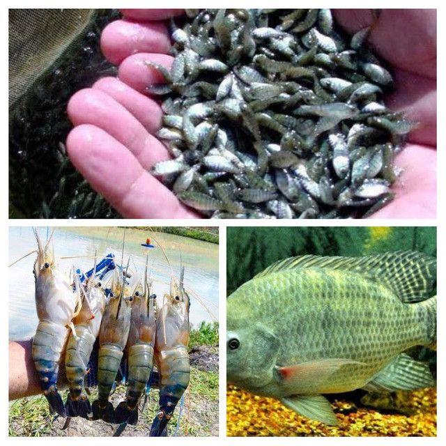 Consultoria técnica Peixe e Camarão (MS)