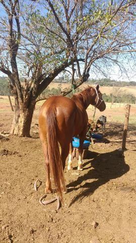 Vendo Cavalo. Ou troco por mula. - Foto 5