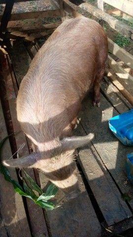 Porco bae porte grande  - Foto 2