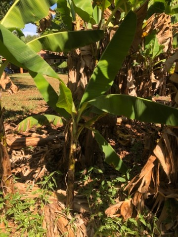 Muda de banana nanica  - Foto 5