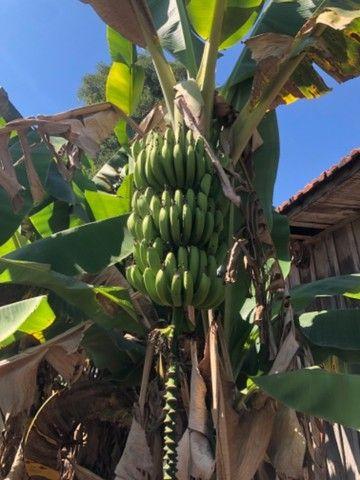 Muda de banana nanica  - Foto 2