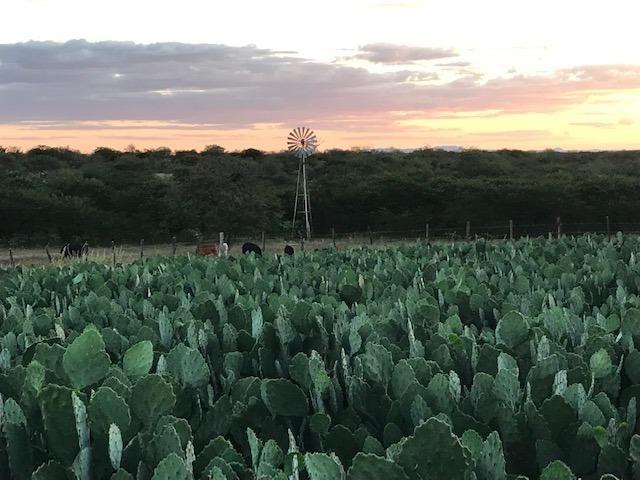 Palma Forrageira Orelha de Elefante Mexicana (resistente à cochonilha do carmim) - Foto 3