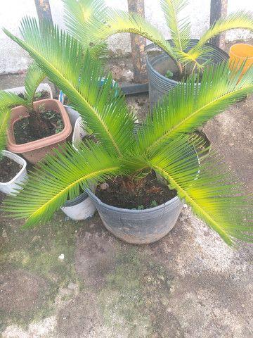 Palmeira sika  - Foto 3