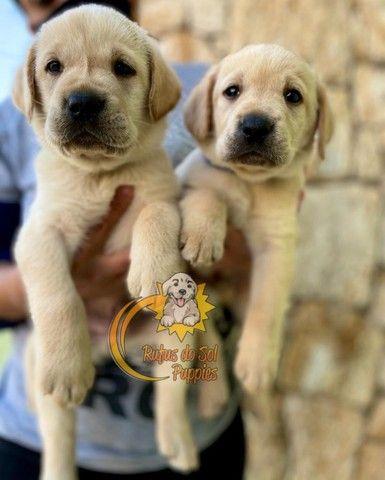 Promoção de dia das mães filhotes de Labrador Perfeitos - Foto 3