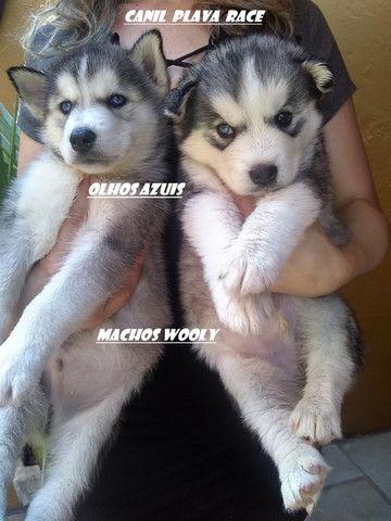 Husky Siberiano : Machos e femeas ( Otimos preços )