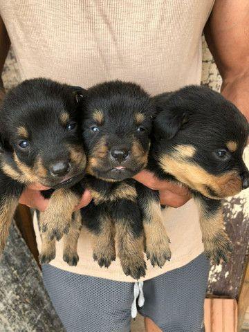Vende-se filhotes de rottweiler  - Foto 5