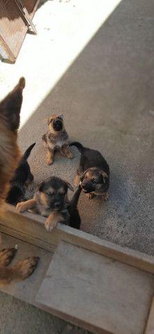 VENDE-SE /BARBADA filhotes de pastor Alemão.  - Foto 3
