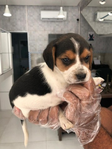 Beagle tricolor - parcelamos em 12x sem juros no credito - Foto 2