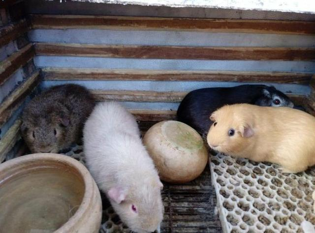 Procuro um lote de 6 animais 3 Us Teddy e 3 inglês europeu - Foto 2