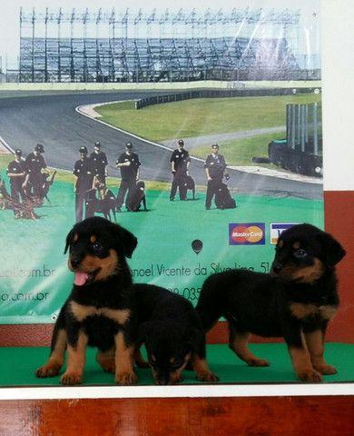Cão Ideal Para Sua Segurança E De Sua Família Chame Canil Império E Garanta Seu Rottweiler - Foto 2