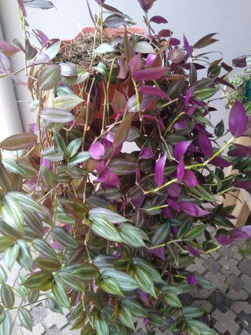 Planta Lambari roxa +/- 1mt  - Foto 2